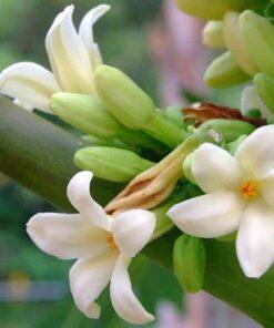 hoa đu đủ chữa ho
