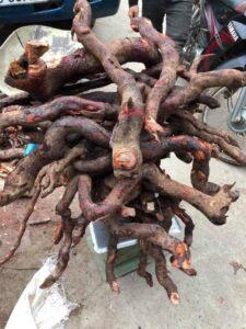 Rễ cây Mú Từn