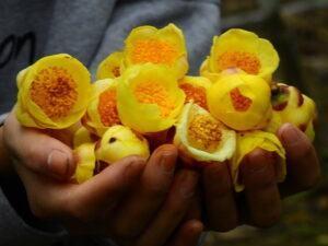 Nấu nước tắm từ trà hoa vàng trị mẩn ngứa